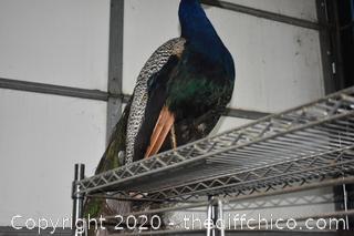 Gorgeous Mounted Peacock